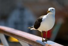 Free Seagull Stock Photos - 5716633
