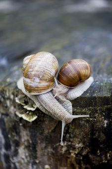 Free Snails Royalty Free Stock Photos - 5716738