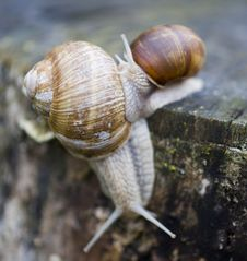 Free Snails Royalty Free Stock Photography - 5716897