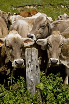 Free Cows Royalty Free Stock Image - 5717236