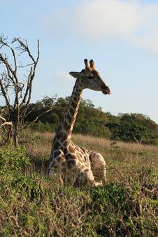 Resting Giraffe Stock Photography