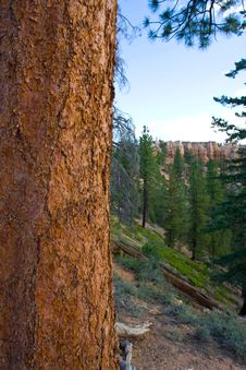 Free Bryce Canyon Trees Stock Image - 5717541