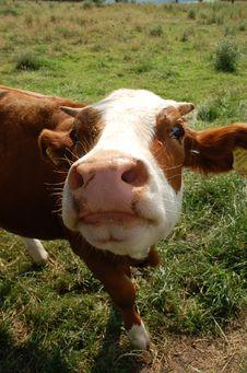 Free Cow Royalty Free Stock Photos - 5717908