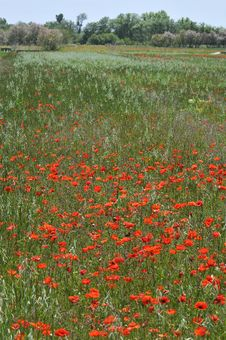 Free Poppies Royalty Free Stock Image - 5717926