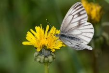 Free Butterfly Pollinating Dandelion Stock Photos - 5718033