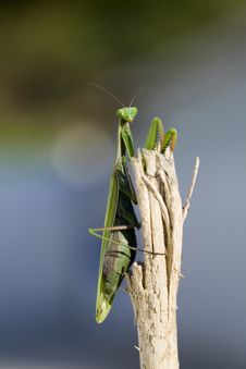 Free Praying Mantis Stock Photos - 5718233