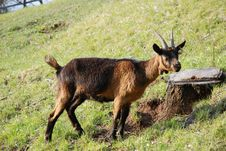 Free Goat Royalty Free Stock Photography - 5718317
