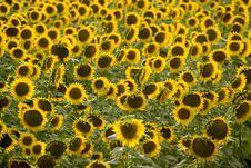 Free Sunflowers Stock Photo - 5718370