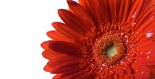 Free Red Gerbera Stock Photos - 5718373