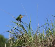 Free Bee-eater Royalty Free Stock Photos - 5718578