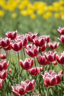 Free Red Tulips Royalty Free Stock Photo - 5718665