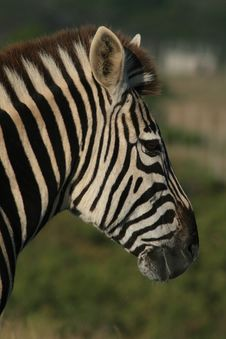 Free Zebra Portrait Stock Photo - 5718770