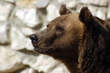 Free Brown Bear Stock Image - 5718881