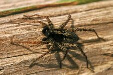 Free Wolf-spider Royalty Free Stock Photos - 5719468