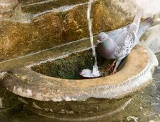 Free Pigeon Thirsty Stock Images - 5719694