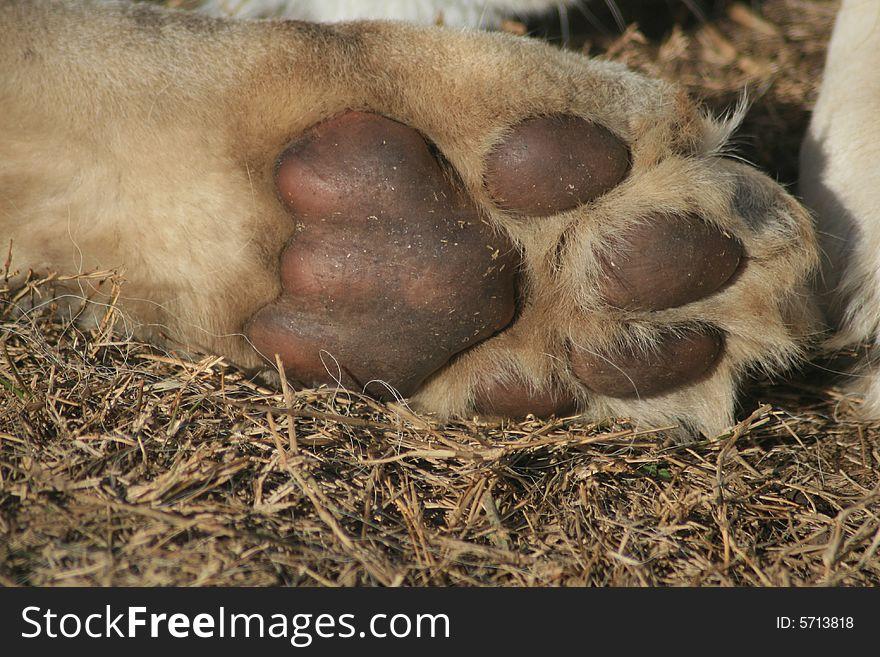 Lion cub paw