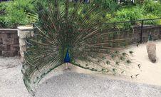 Free Peacock Displaying Plumage Royalty Free Stock Photo - 57106465