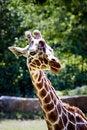 Free Giraffe Lookin Curious Stock Image - 5720711