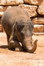 Free The Asian Elephant Stock Photography - 5721302