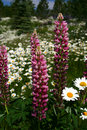 Free Foxglove 12 Royalty Free Stock Images - 5722679