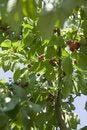 Free Cherries Stock Photo - 5722960