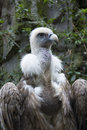Free Portrait Of A Vulture Royalty Free Stock Photo - 5724615