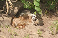 Free Raccoon Royalty Free Stock Photo - 5725235