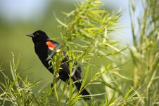 Free Red Winged Blackbird Royalty Free Stock Photography - 5720157