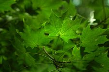 Free Green Leafs On Tree Royalty Free Stock Images - 5720489