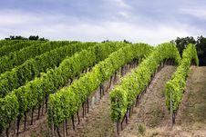 Free Vineyard Royalty Free Stock Image - 5720676