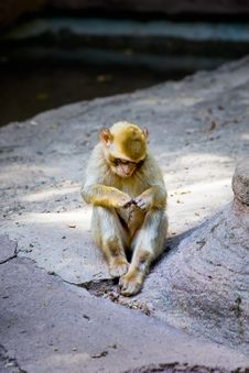 Free Monkey Lost In Thoughts Royalty Free Stock Photos - 5720828