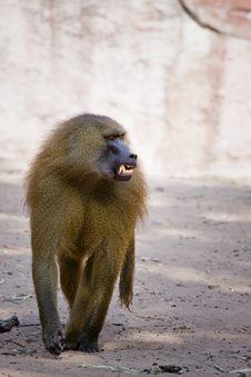 Free Angry Baboon Stock Image - 5720861