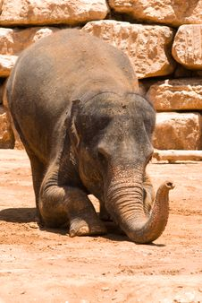 Free The Asian Elephant Stock Photography - 5721302