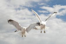 Free Sea Gulls Flight Royalty Free Stock Image - 5721526