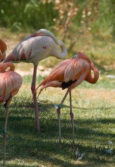 Free Pink Flamingos Flock Stock Photography - 5721582