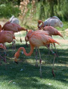 Free Pink Flamingos Flock In Jerusalem Zoo Royalty Free Stock Images - 5721599