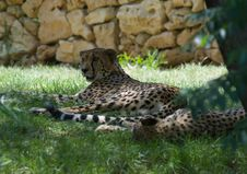 Free Cheetah Rests Under A Tree Stock Image - 5721671