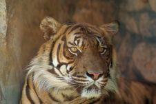 Free Head Shot Of Sumatran Tiger Royalty Free Stock Image - 5721686