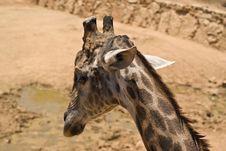 Free Giraffe Head Royalty Free Stock Photos - 5721768