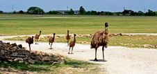 Free Ostrich Family Stock Photography - 5721892