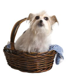 Free Comical Dog In Basket Royalty Free Stock Photos - 5721908