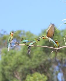 Free Bee-eater Royalty Free Stock Images - 5722009