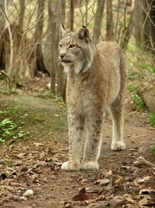 Free Lynx Stock Photography - 5722492