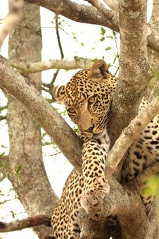 Free Leopard In A Tree Royalty Free Stock Image - 5722536