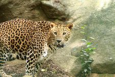 Free Leopard Royalty Free Stock Photography - 5722867