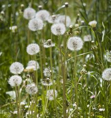 Free Dandelion Meadow Stock Images - 5723064