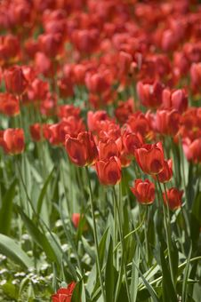 Free Red Tulips Royalty Free Stock Photo - 5723135