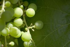 Free Wild Grapes Stock Photography - 5723232