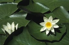 Free Water-lily Stock Photos - 5723363