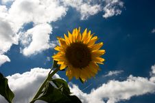 Free Sunflower1 Royalty Free Stock Image - 5723416